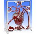 Model srdca s pumpou, funkčný model