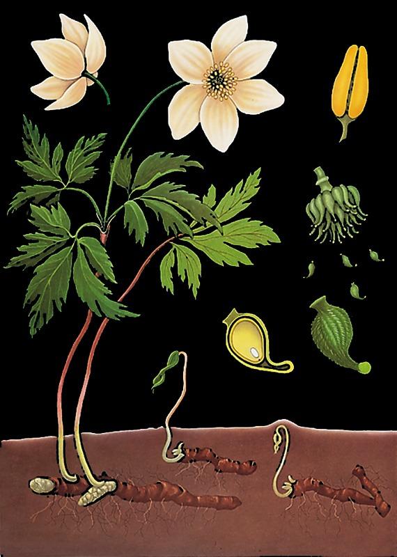 Poniklec, botanická nástenná tabula