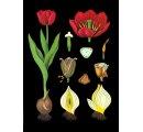 Tulipán, botanická nástenná tabula