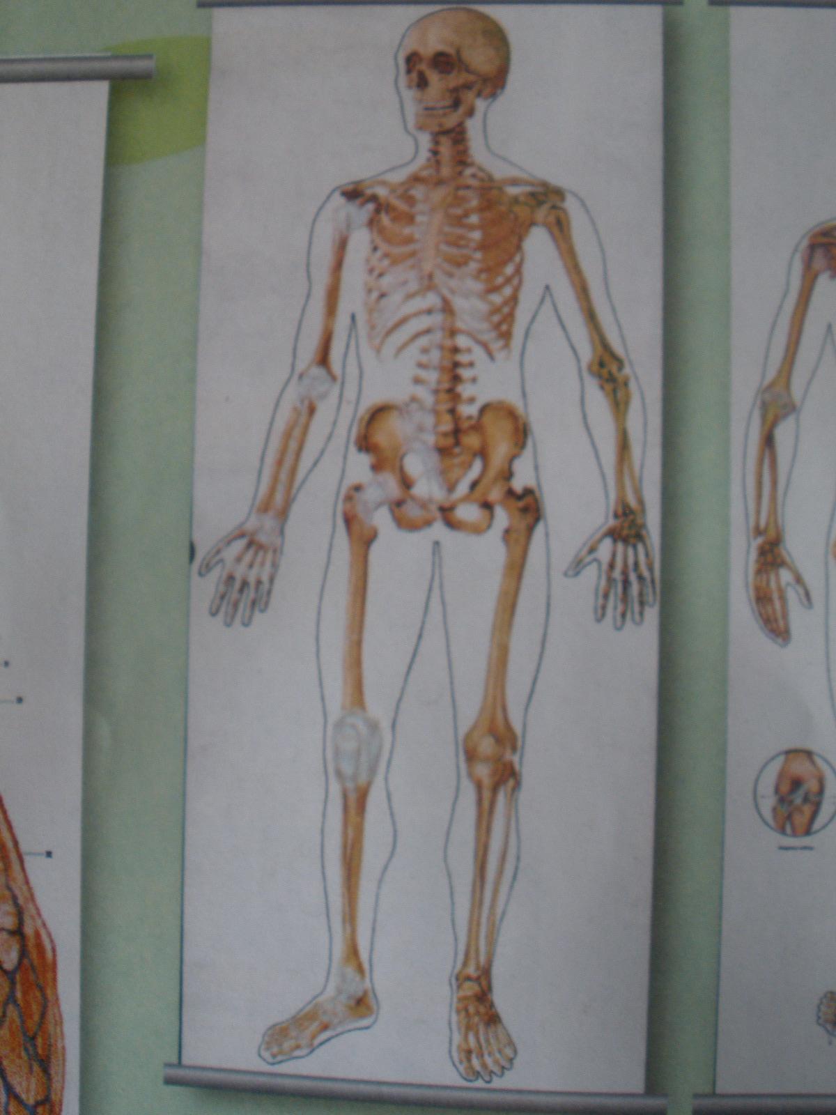 Kostra človeka = predná časť, 200 x 84 cm