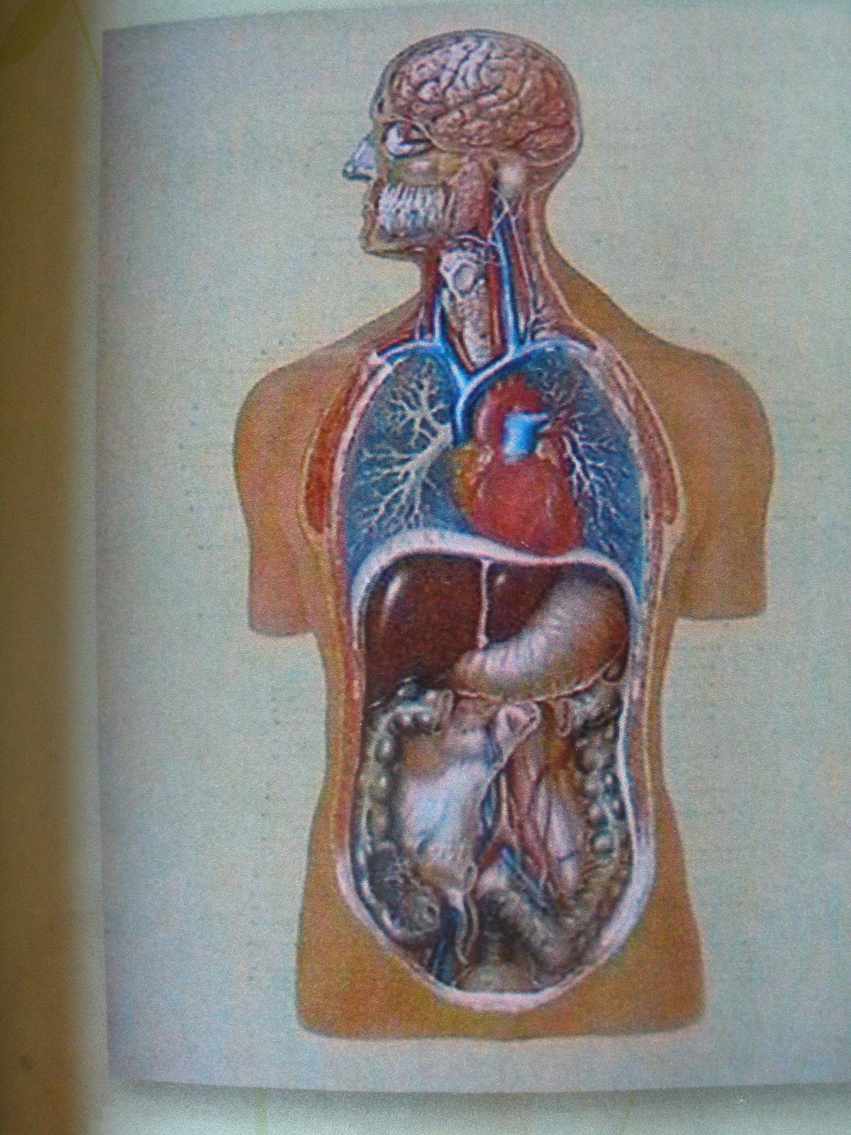 Vnútorné orgány = 118 x 84 cm
