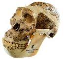 Australopithecus africanus lebka - verná rekonštrukcia