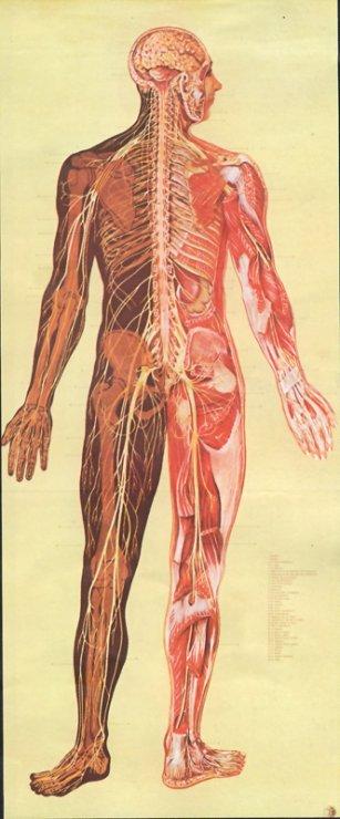 nervova-sustava-cloveka.jpg