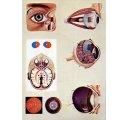 Ľudské oko priebeh videnia