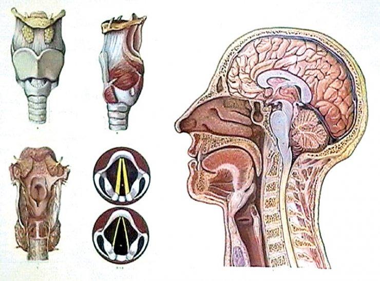 hlava-a-hrtan-cloveka.jpg