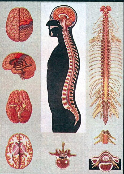 bdfd95515 Miecha a mozog človeka - Anatomické obrazy   Učebné pomôcky