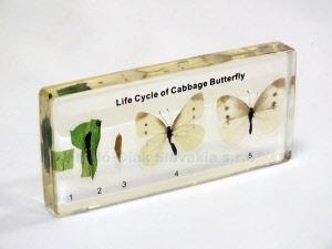 Životný cyklus motýľa – mlynárik kapustový
