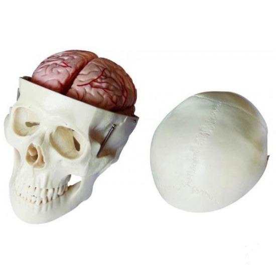 Lebka deluxe s 8 časťami mozgu